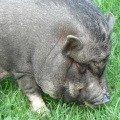 Хоть это и не самое красивое животное,   зато умное,   обладающее ярким характером и очень привязывающееся к людям.<br /> Наша Лёлька.