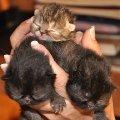 Фото родителей и котят можно посмотреть на сайте питомника MAXIMA  http://www.exotcat.ru/.