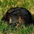 Хочу отдать черепаху в добрые руки.Нашли ее вчера в траве. Ночью просидела в коробке. Днём отпустили в прудик на дачном участке - она с удовольствием поплыла. С черепахой `столкнулась` впервые. Даже не знаю,   чем кормить,   как содержать и пр. Черепаха болотная. Дружелюбная,   не боится людей. Может быть найдутся желающие на владение животным!   Живём в Подольске. Черепаху можем привезти и в Москву. Звоните 8-926-228-19-45или пишите :)Жду!