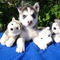 В Хаски-Клубе в г.Пушкино Московской области родились шесть очаровательные щеночков породы Сибирский Хаски 11.06.2010 года.Фото представляю Вам)