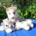 В Хаски-Клубе г.Пушкино МО 11.06.2010 года родились шесть очаровательных щеночков Сибирских Хаски,   на фото они.