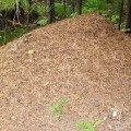 """Эта огромная муравьиная куча даже не поместилась в кадр. У нас в лесу сейчас \""""муравьиный бум\"""" - муравейники растут,   как грибы."""