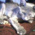 кошка Сюзэт