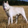 Рабочий пес породы Сибирский хаски - на тренировке в Хаске-Клубе Пушкино