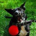 """Черно-белый окрас,   очень дружелюбный,   кличка как у собаки из мультфильма \""""Вольт\"""" Walt Disney. Нашла его на даче в Шатуре и оставила себе )) Похож на смесь овчарки с средним дворянином.<br /> Очень любит пищащий красный мячик )) Может играть с ним часами... :)"""