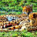 гепарды на отдыхе