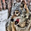 волчара зимой...