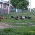 Соседские куры