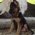 мой щенок - 1.5месяца