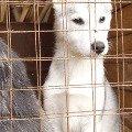 Чанга - девочка породы Сибирский хаски(4 месяца)