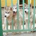 Наша девчонки породы Сибирские хаски (5 месяцев)