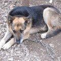старенький пес - охранник автосервиса с  улицы Бикбая г. Уфа