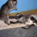 котятки дерутся