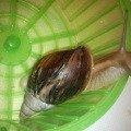 ���:Achatina immaculata var. pantera.<br /> ���:��������.