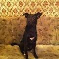 Отдадим в добрые руки собаку кобель возраст около года окрас черный гладкошерстный воспитан отличные охранные качества