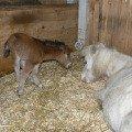 У Белоснежной американской миниатюрной лошади,   родилась рыжая,  чудесная дочка Принцесса!