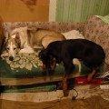 Когда Монька была маленькой то всегда жалась к Рузену,   полежать,   посмотреть как он ест. Наверное тосковала по маме. Но никогда не пыталась с ним играть или задирать,   хот задирой была отчаянной.