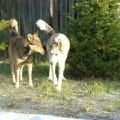 Это соседский пес Граф (серый),   с Рузеном они большие друзья.