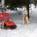 Сибирский хаски - настоящий рабочий пес