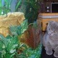 Познаём новый мир (скоттиш-фолд,   кот,   2 мес. и 1 нед.)!