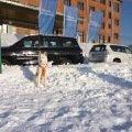 Сибирский хаски участник тест-драйва внедорожников Тойота