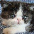 Экзотический котик окрас черно-белый мраморный серебристый,   неметящий
