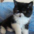 Экзотическая черно-белая кошечка,   отец Европейский Чемпион Беллис