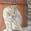 Кот Дальневосточный - занесен в Красную книгу.<br /> Новосибирский зоопарк.