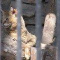 Кот камышовый. отряд хищные,   семейство кошачьи,   распространен в Передней,   Средней и Южной Азии,   занесен в Красную книгу. Живет вблизи водоемов.<br /> Новосибирский зоопарк.