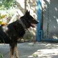 Собака Ирма. 7 лет.