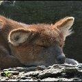 Когда нет сил доползти до воды (красный волк,   жаркий день в Москоском зоопарке)