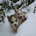 Месяные щеночки Сибирский хаски в Хаски-клубе