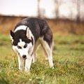 Сибирский хаски -6-ти месячная волчица)