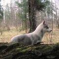 Свободная девочка породы Сибирский хаски - 3 мес. 17000 руб.
