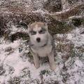 Хаски-клуб - прогулка питомца по первому снегу