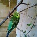 Мой любимый попугайчик Кешенька у себя в вольере.