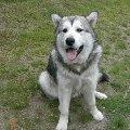 Пропавшая Собака: Аляскинский Маламут