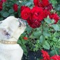 Мой Марсель и его любимые розы