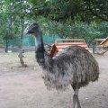 Очень любопытный страус