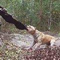 Бакс  на даче  гуляя в лесу обнаружил забытый овчинный тулуп  который оставили охотники . Через минут 15 тулупа уже не было .