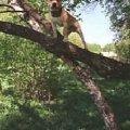 Бакс  сын Рэма ( Денди де Мандраки ) ,   внук Чоппера ,   серьезная собака .