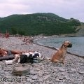 Абрау-Дюрсо. С нашей стороны  пляжа людей нет. Бакс привязан к большому камню  и сидит в наморднике.  Когда мимо проходила шумная компания ,   Бакс за ними ускакал вместе с этим булыжником.