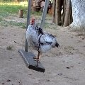 курица не птица