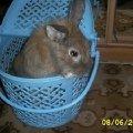 Это мой кролик Семик,  он выглядывает из корзинки для перевозки.Уже на следущий день он бегал у нас на даче.