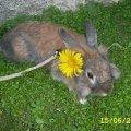 это мой кролик Семик,  на этой фотографии он в саду.