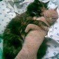 Это две кошки: Ластик и Ксавье. Мелкую Ксавье я взяла после того,   как Ластик прожила у меня почти год. Первое время были ссоры,   шипение,   беготня по квартире.... до тех пор,   пока я не застала их спящими :)<br /> <br /> Сейчас - полное взаимопонимание)