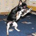 Злой маленький собак.