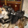 старый пес Тарзан,   терпит,   когда котята греются на его спине.