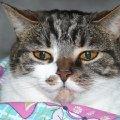 Это очень ленивая и милая кошка...=)))кстати ее Милка зовут))Моя самая любимая зая...