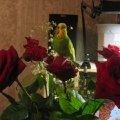 букет алых роз и ... Кеша!